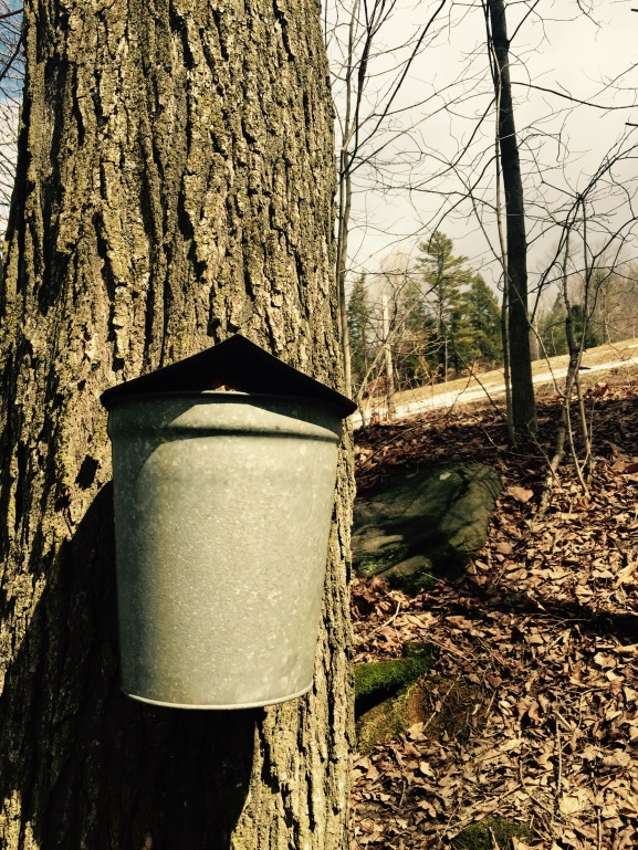 Maples tapped for sap collection